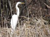 Grande Aigrette -Great Egret