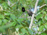 Carouge à épaulettes - Red-winged Blackbird (18+)