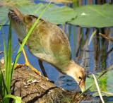 Talève violacée (imm) - Purple Gallinule (juv)