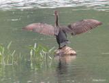 Cormoran à aigrettes - 070916 -  Double-crested Cormorant