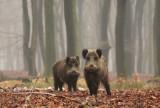 Wild zwijn - Wild Boar
