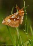 Tauvlinder - Tau emperor