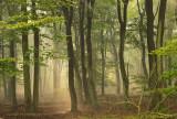 Beech forest, summer - Beukenbos, zomer
