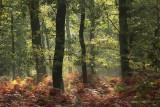 Oak forest, morninglight - Eikenbos, ochtendlicht