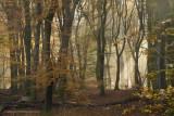 Beech forest, autumn - Beukenbos, herfst