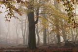 Mistig beukenreservaat - Beech reserve, fog