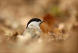 Glanskop - Marsh Tit