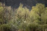Lentegroene wilgen - Willows at spring