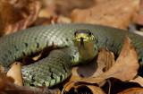 Ringslang - Grass snake 2