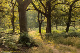 Eikenbos met adelaarsvaren - Oak forest with Bracken fern