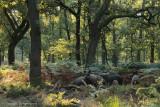 Eikenbos met Wild zwijn - Wild boar in an oak forest