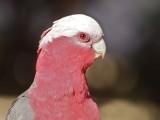 Australian Native Birds #2