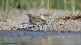 AM_03282012_Red-throated Pipit_001 - email.jpg