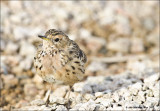 AM_03312012_Red-throated Pipit_002 - email.jpg