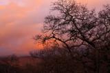 Sunset and bare oaks 2.jpg