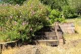 steps Mexican primroses.jpg