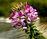 Purple spider flower.jpg