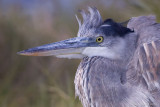 96987c - Great Blue Heron