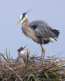 80376 - Great Blue Heron with chick