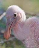 100509c - Roseate Spoonbill chick