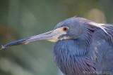 100544 - Tricolor Heron