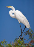 100623 - Great Egret
