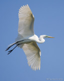 100632c - Great Egret
