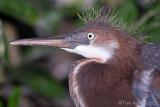 100654c - Tricolor Heron