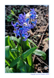 Sweet-smelling hyacinth