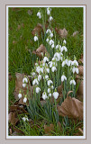 First Snowdrops of 2008