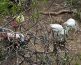 Egret turning its blue eggs
