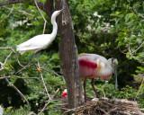 Great egret & spoonbill