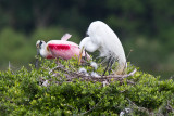Egrets in the nest