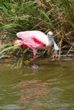 Spoonbill in the water