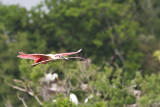 Spoonbill with nesting material