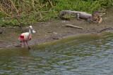 Spoonbill & smiling alligator