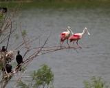 Cormorants * 2 spoonbills