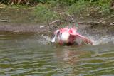 Spoonbill bathing