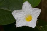 Texas Olive flower