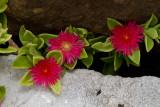 Ice plant amongst the rocks