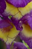 Gorgeous gladiolus