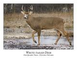 White-tailed Deer-039