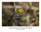 Black-throated Green Warbler-011