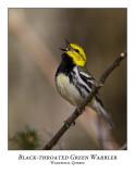 Black-throated Green Warbler-012