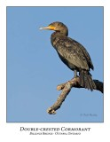 Double-crested Cormorant-008