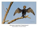 Double-crested Cormorant-011