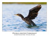 Double-crested Cormorant-012