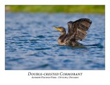 Double-crested Cormorant-014