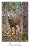 White-tailed Deer-042