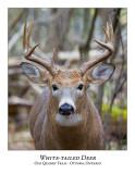 White-tailed Deer-043
